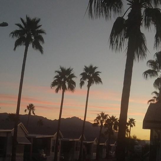 Palm trees in Arizona.